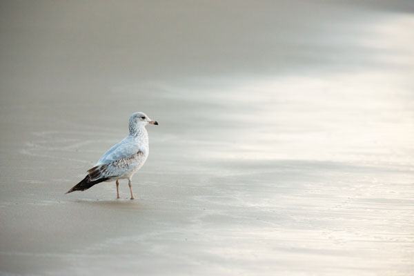 -Seagull at Kehoe Beach-