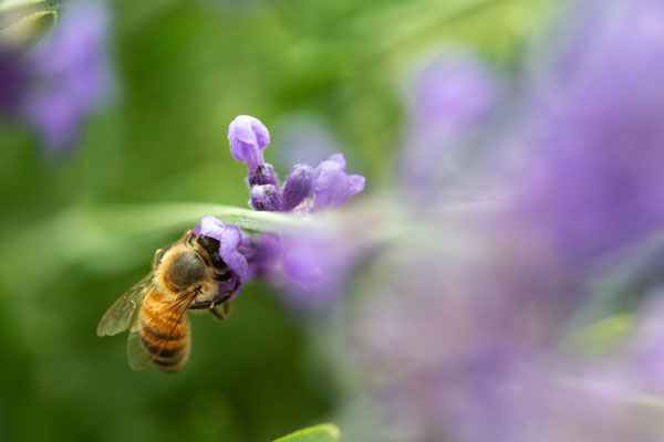 -Bee on Lavender-